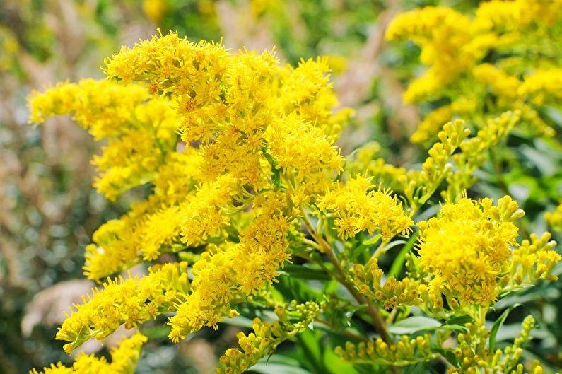 Многолетние цветы для дачи и сада - Золотарник