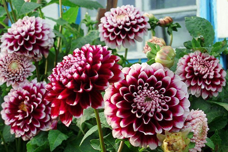 Многолетние цветы для дачи и сада - Георгины