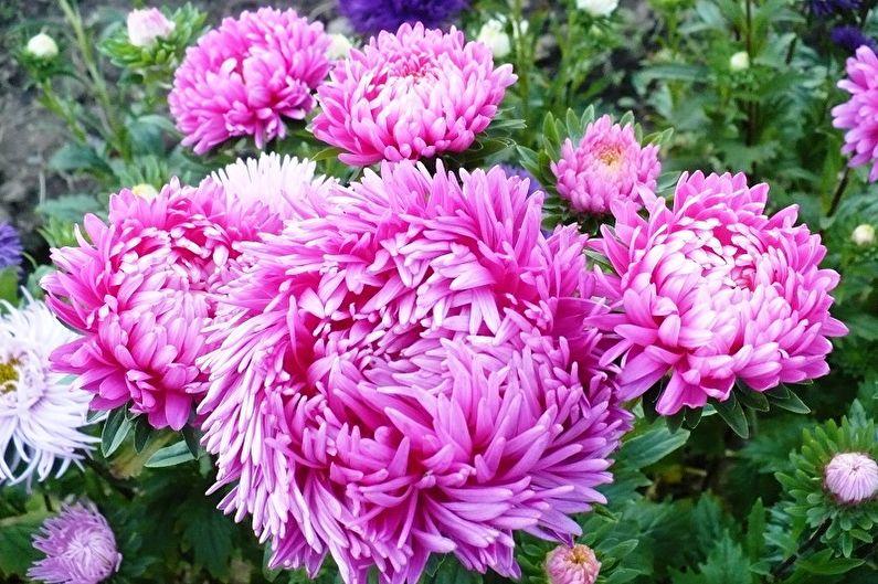 Многолетние цветы для дачи и сада - Астры