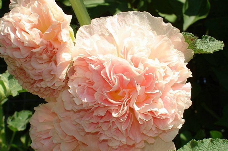 Многолетние цветы для дачи и сада - Штокроза