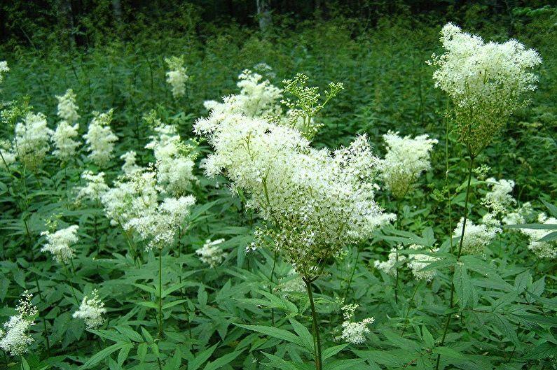 Многолетние цветы для дачи и сада - Таволга