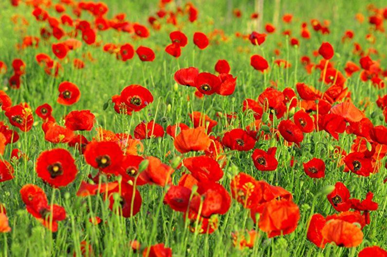Многолетние цветы для дачи и сада - Персидский мак