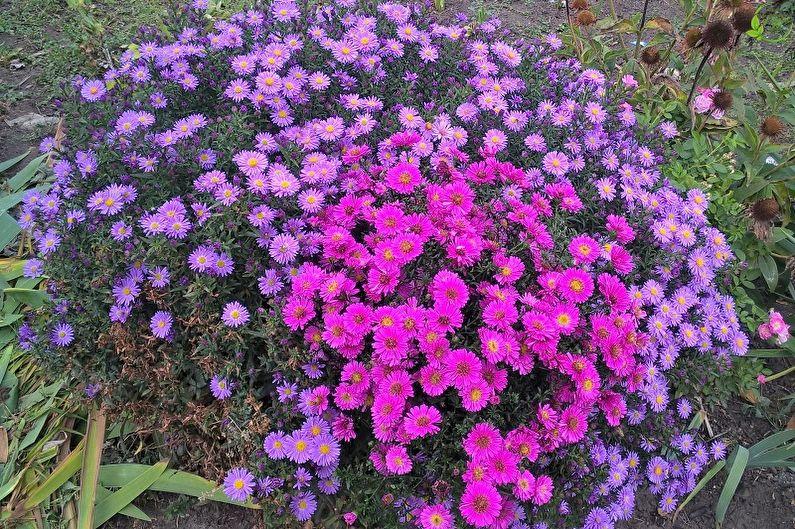 Многолетние цветы для дачи и сада - Астра кустовая