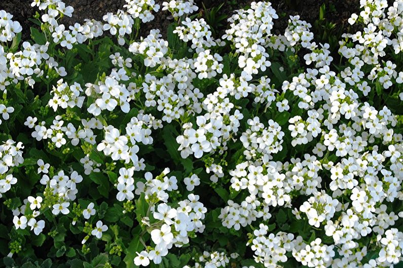 Многолетние цветы для дачи и сада - Арабис
