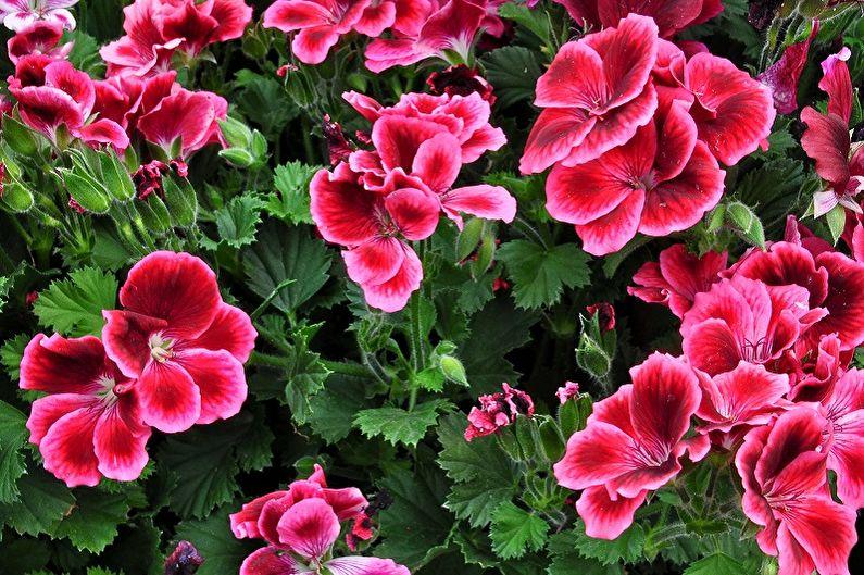 Многолетние цветы для дачи и сада - Герань