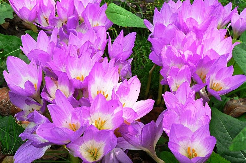Многолетние цветы для дачи и сада - Безвременник