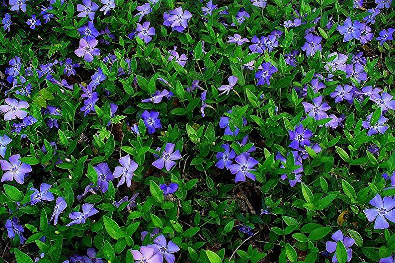 Многолетние цветы для дачи и сада - Барвинок