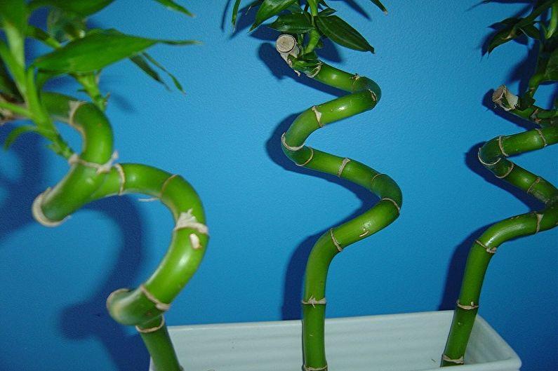 Уход за комнатным бамбуком - Как завить стебель бамбука