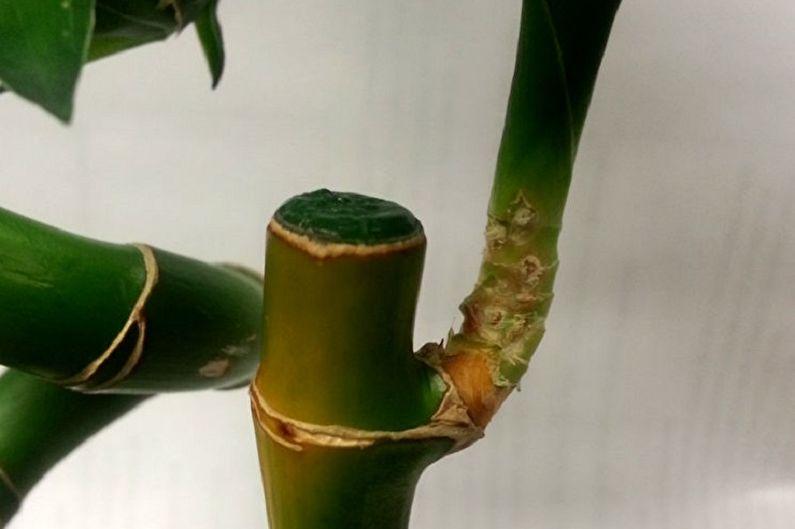 Комнатный бамбук - Болезни и вредители