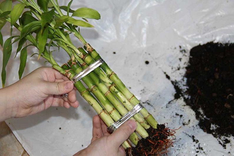 Как пересадить комнатный бамбук