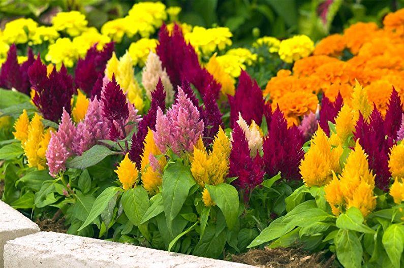 Выращивание нарядных цветов Целозии
