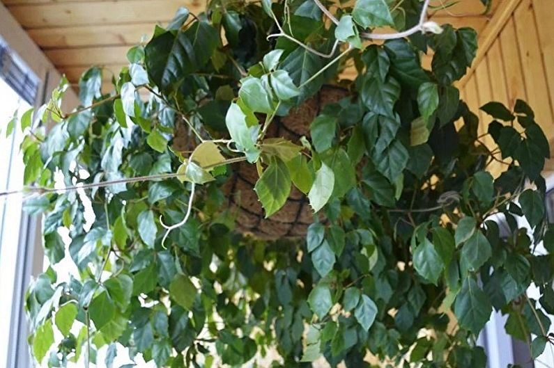 Циссус - Вьющиеся комнатные растения, декоративно-мелколиственные