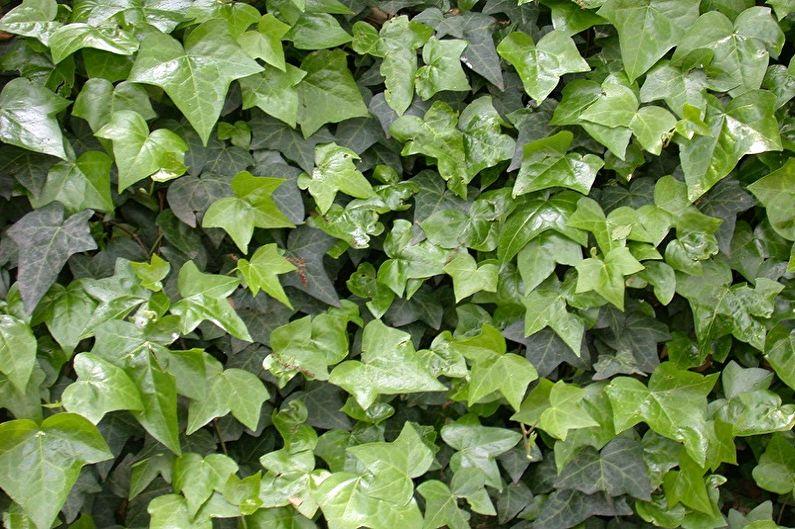 Плющ обыкновенный - Вьющиеся комнатные растения, декоративно-мелколиственные