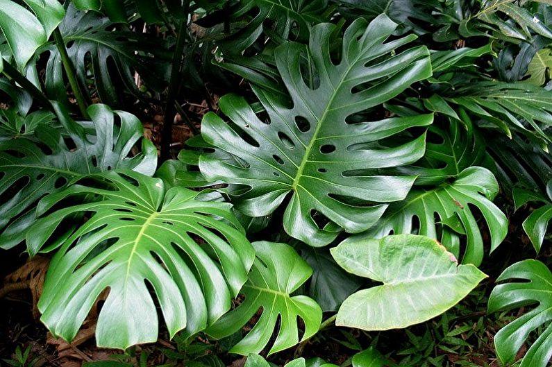 Монстера - Вьющиеся комнатные растения, декоративно-крупнолиственные
