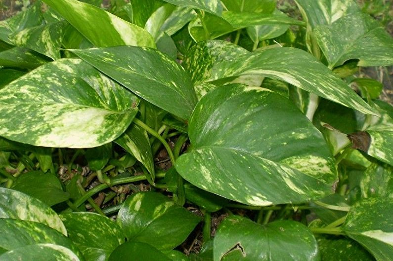 Филодендрон лазящий - Вьющиеся комнатные растения, декоративно-крупнолиственные