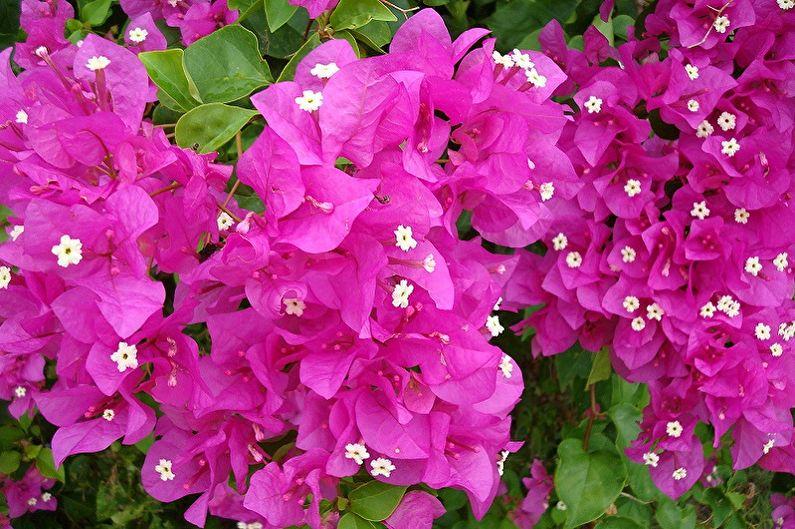 Бугенвиллия - Вьющиеся комнатные растения, особо требовательные комнатные лианы
