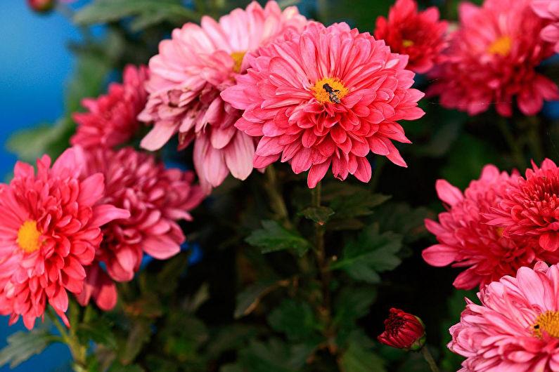 Классификация и виды хризантем