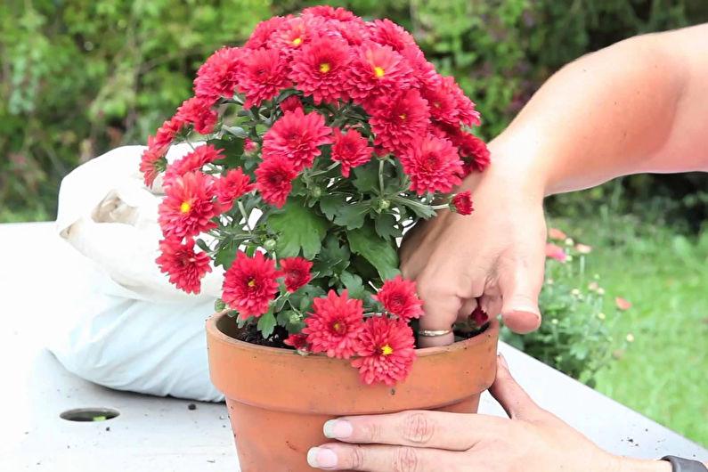 Размножение и пересаживание хризантем
