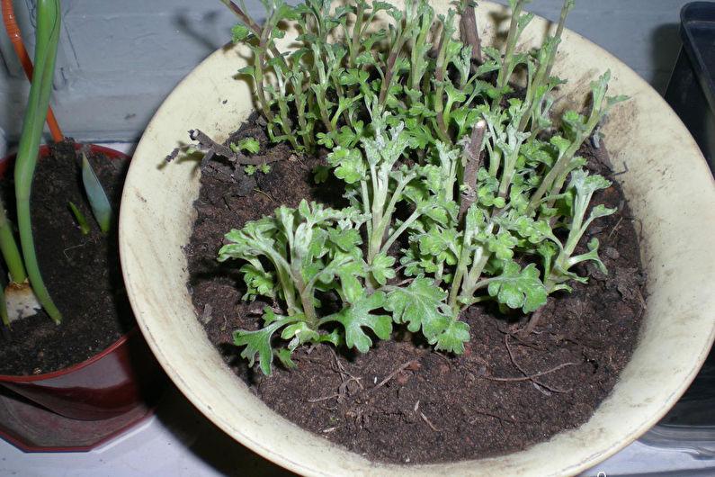 Хризантемы - Борьба с вредителями и болезнями